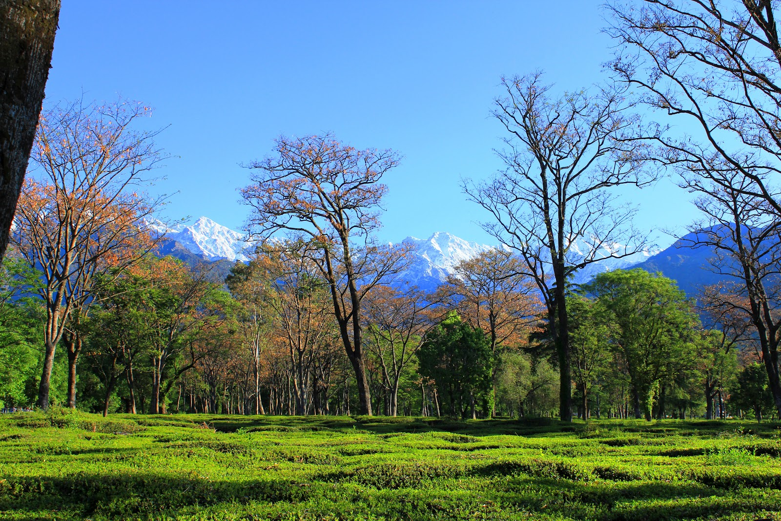 Tea Gardens and Dhauladhar Ranges from Palampur