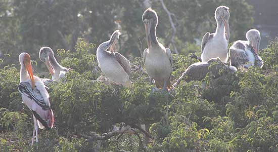 Telineelapuram Bird Sanctuary - 04